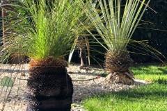 20-09-australischer Grasbaum 02