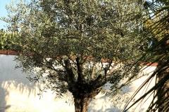 20-09-Olivenbaum 01