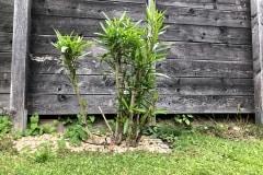 20-07-Oleander 01