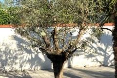 20-05-Olivenbaum 01