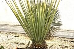 20-04-Yucca rigida 01