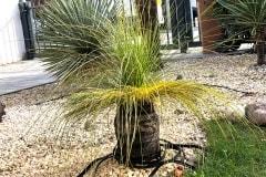 20-03-australischer Grasbaum 05