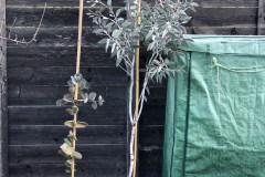 20-11-Schnee-Eukalyptus 01