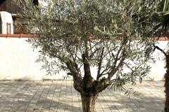 20-03-Olivenbaum 01