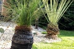 20-07-australischer Grasbaum 01