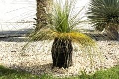20-04-australischer Grasbaum 01