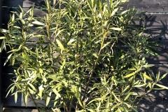 20-04-Oleander 01