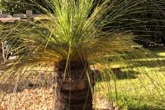 20-03-australischer Grasbaum 03