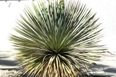 20-04-Yucca rostrata 03