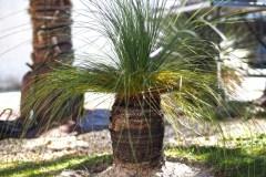 20-03-australischer Grasbaum 01
