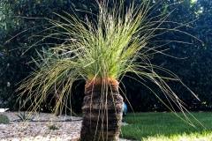 20-09-australischer Grasbaum 01
