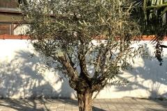 20-04-Olivenbaum 02