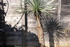 20-03-Yucca rostrata 02