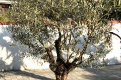 20-04-Olivenbaum 01
