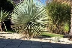 20-09-Yucca rostrata 02