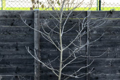 20-11-Asimina triloba 'Sunflower' 01