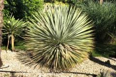 21-06-Yucca rostrata 01