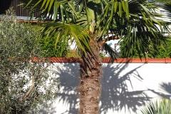21-05-Trachycarpus fortunei 01