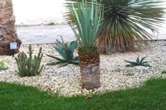 21-09-Yucca rigida 01