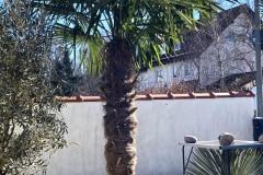 21-02-Trachycarpus fortunei 02