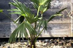 21-02-Trachycarpus wagnerianus 01