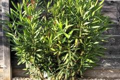 21-08-Nerium oleander 02