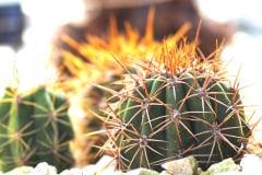 21-08-Echinopsis pasacana 01