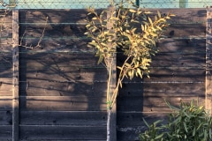 21-04-Eucalyptus pauciflora 01