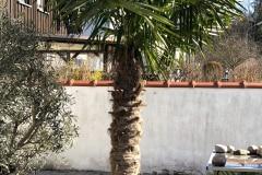 21-02-Trachycarpus fortunei 01