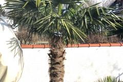 21-03-Trachycarpus fortunei 01