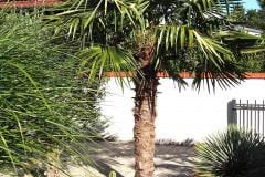 21-09-Trachycarpus Fortunei 01