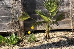 21-03-Trachycarpus Wagnerianus 01