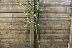 21-05-Poncirus trifoliata 01