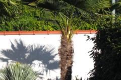 21-05-Trachycarpus fortunei 02
