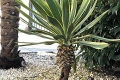 21-03-Yucca gloriosa variegata 01