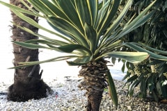 21-05-Yucca gloriosa 01