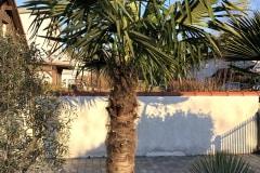 21-04-Trachycarpus Fortunei 01