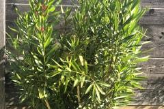 21-09-Nerium oleander 01