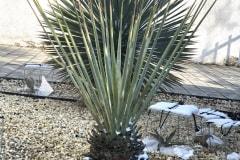 21-03-Yucca rigida 01