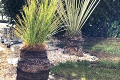 21-02-Xanthorrhoea johnsonii 02