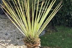 21-05-Yucca rigida 01