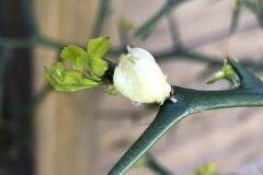 Blütenknospe 2021 08
