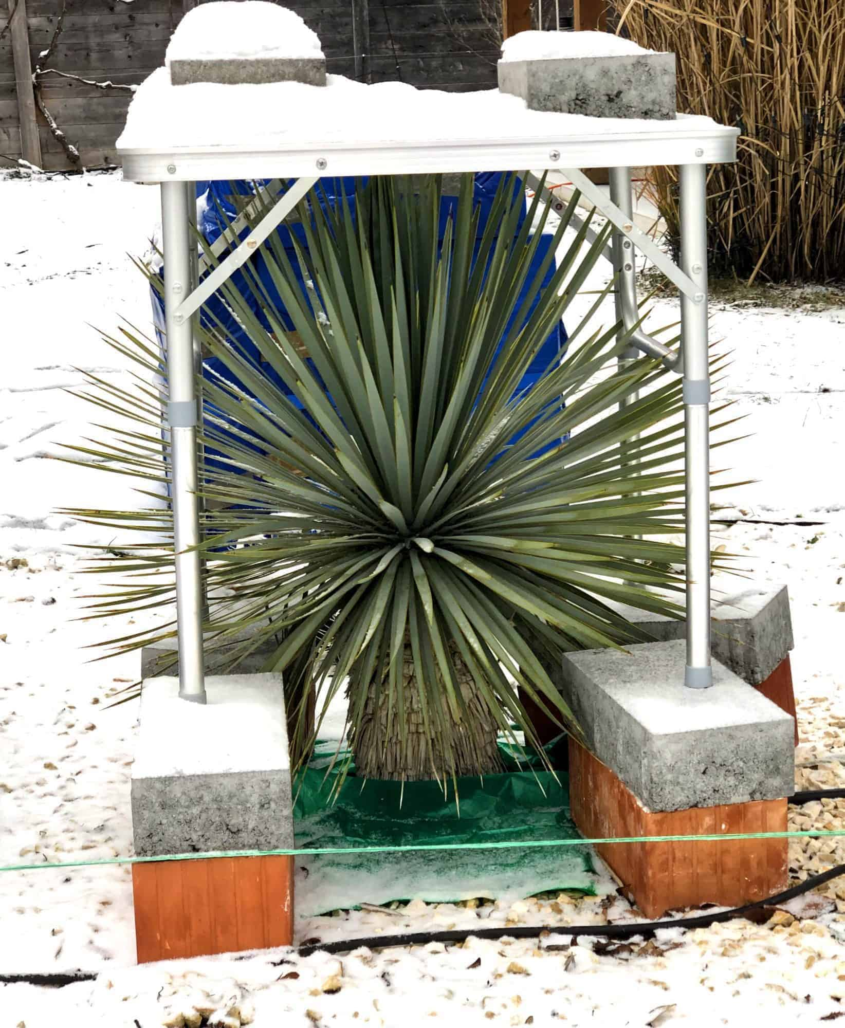 Yucca: Bewurzelung 15