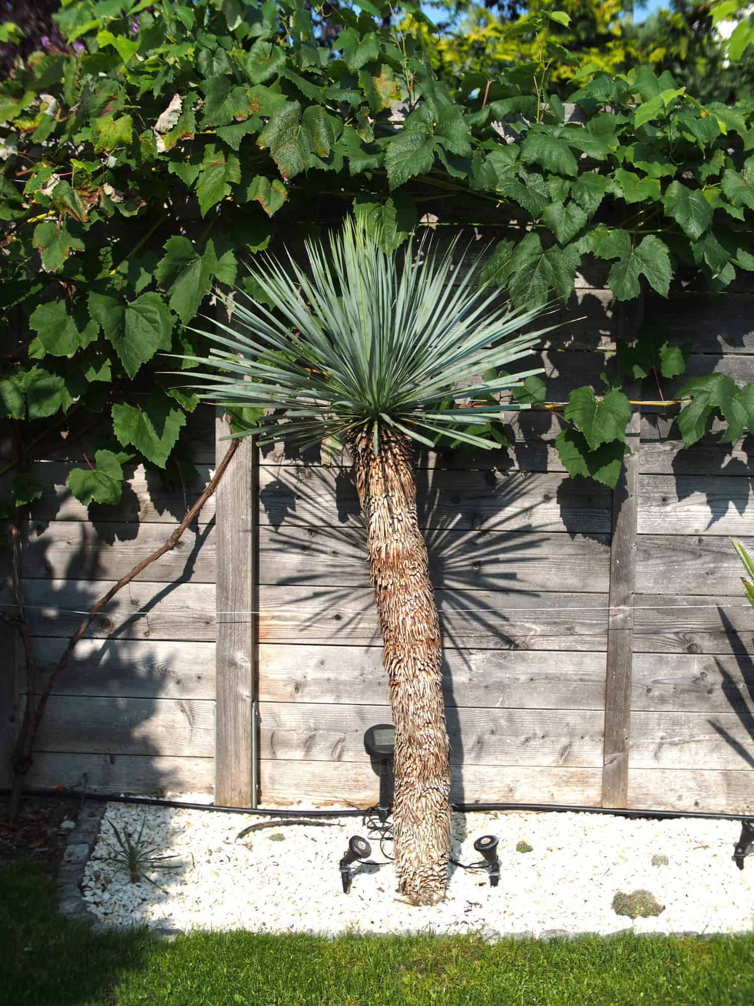 Yucca: Bewurzelung 12