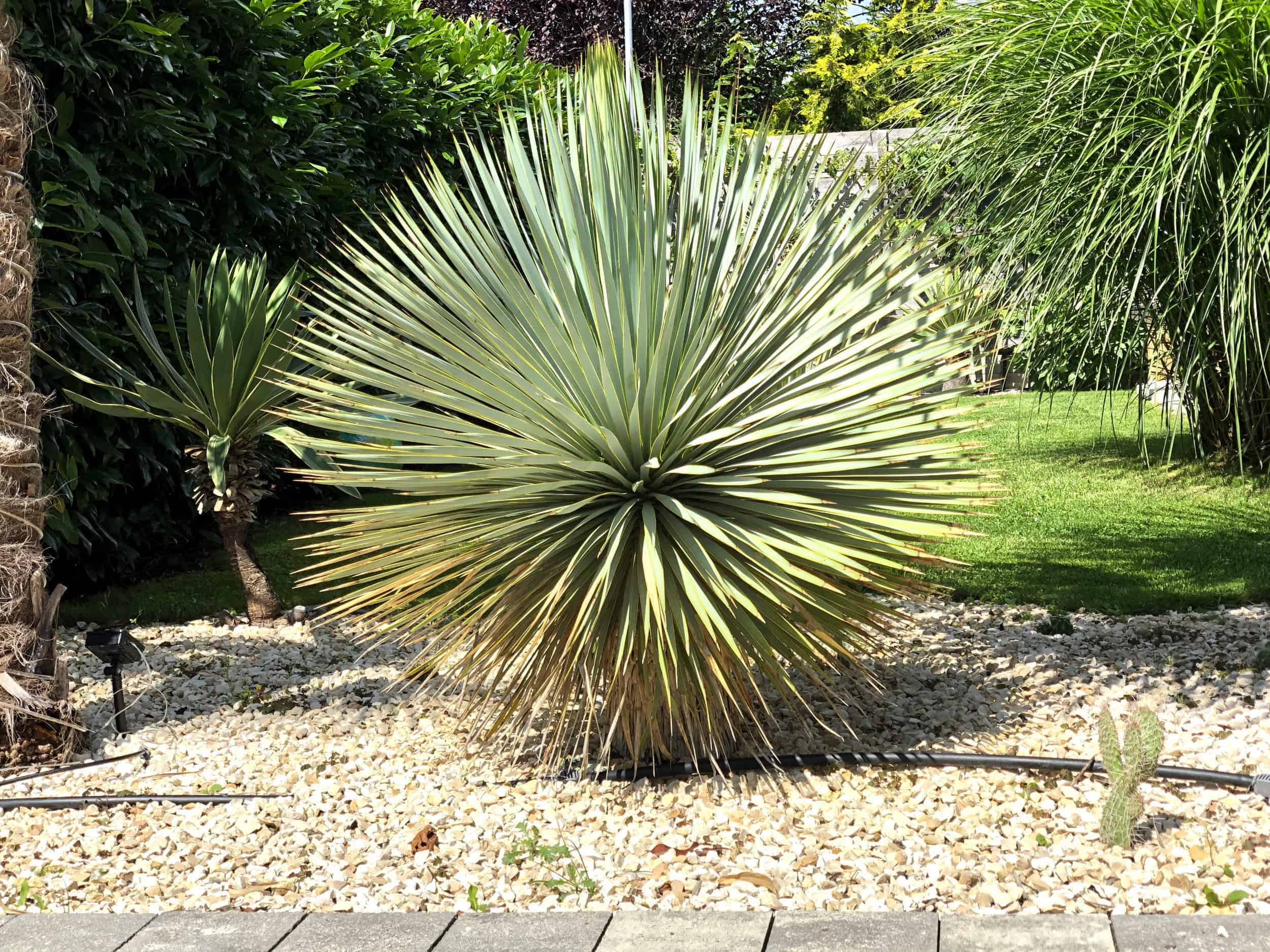 Yucca: Bewurzelung 14
