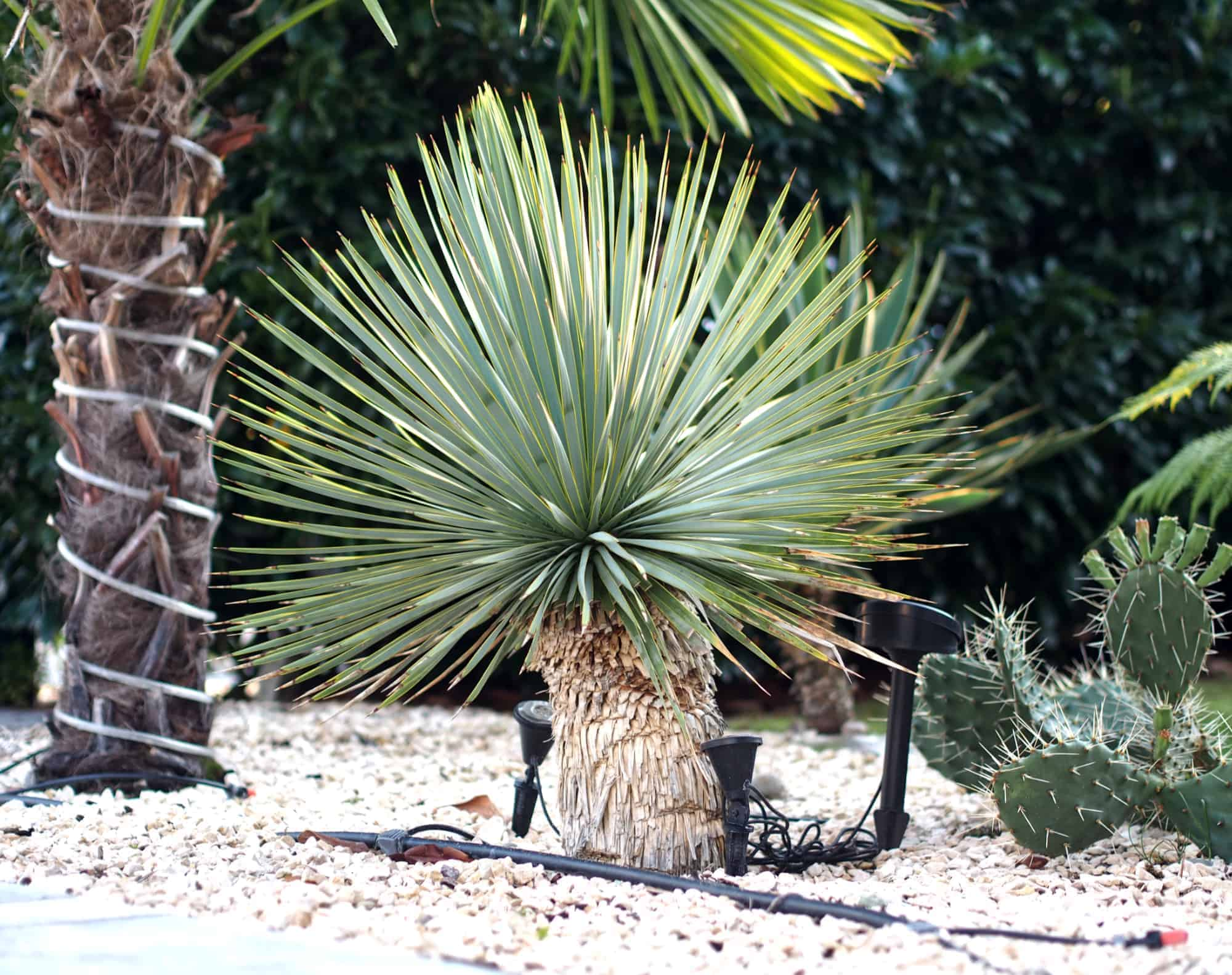 Yucca: Bewurzelung 11