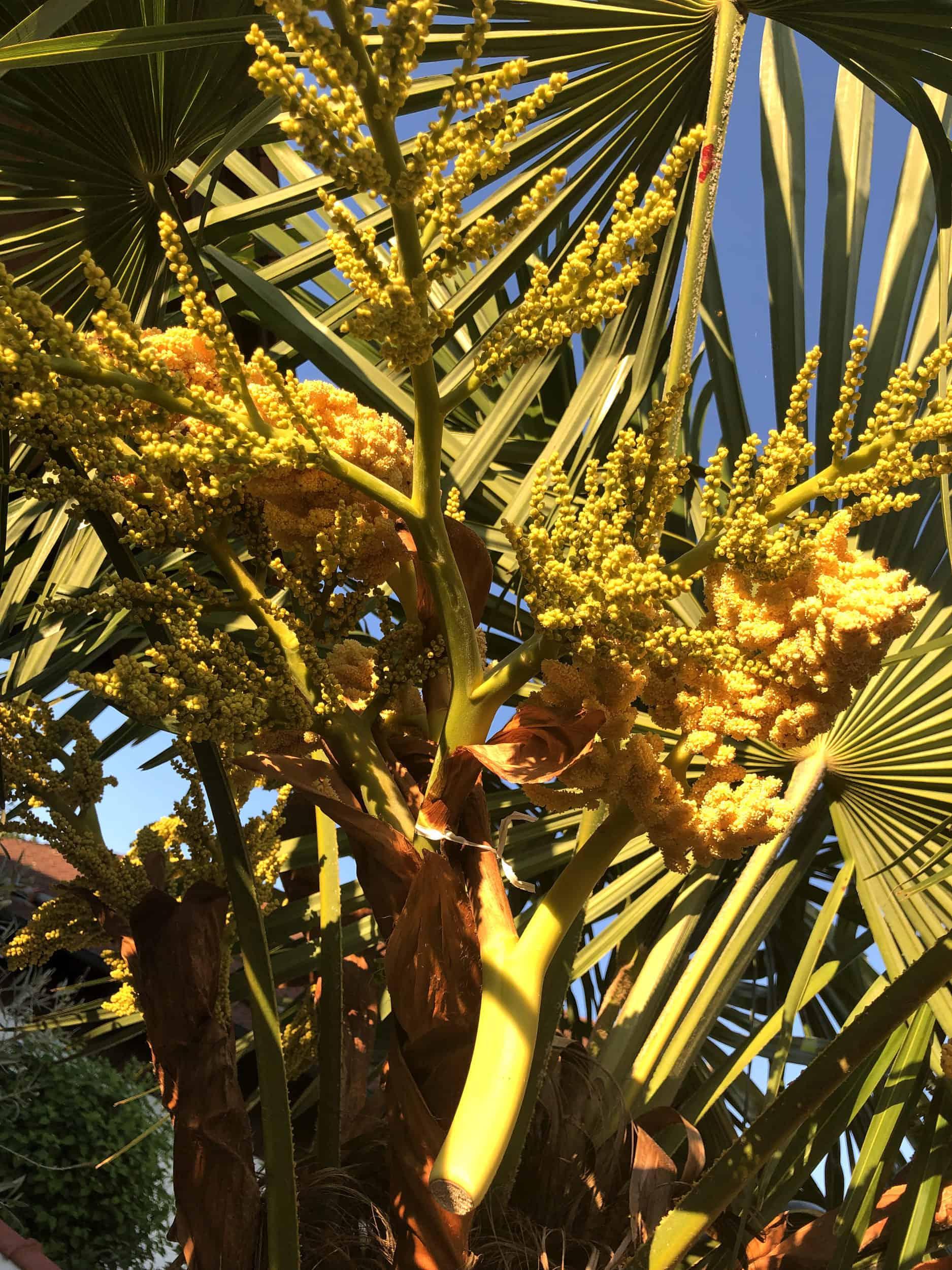 Trachycarpus Fortunei: Steckbrief 6