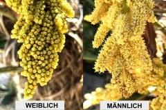 Blütenstände Vergleich 03