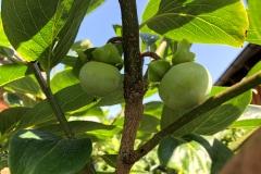 Frucht 2020 01
