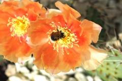 Opuntia macrohitza 'Apricot'